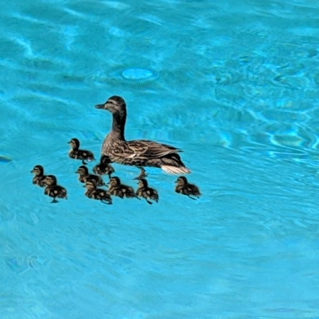 ducks-in-pool